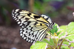Nymph Longwing Butterfly Royalty Free Stock Image