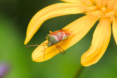 Nymph Shield bug in a yellow flower Stock Photography