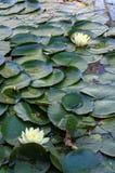 Nymphaceae fotos de archivo libres de regalías