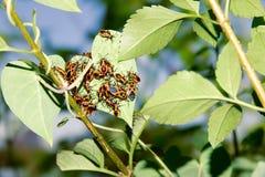 Nymphae del insecto del hedor imagen de archivo libre de regalías