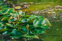 Nymphaea лилии белой воды alba Стоковые Фото