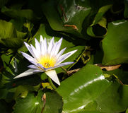 Nymphaea Stock Photography