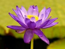 Nymphaea Royaltyfri Foto