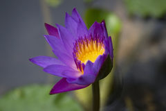 Nymphaea Foto de Stock Royalty Free
