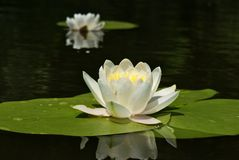 Nymphaea alba Royalty Free Stock Photos