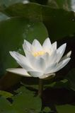 Nymphaea alba Royalty Free Stock Photo