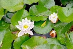 Nymphaea alba Royalty Free Stock Photography