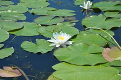 Nymphaea alba, also known as the European white water lily, white water rose or white nenuphar. White water lily Nymphaeaceae aka the European white water lily stock photography