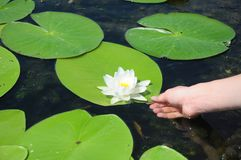 Nymphaea alba, also known as the European white water lily, white water rose or white nenuphar. With women hand Stock Photos