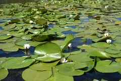 Nymphaea alba - European white water lily stock photos