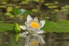 Nymphaea alba - European white water lily stock images