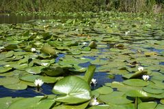 Nymphaea alba - European white water lily stock photo