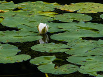 Nymphaea alba or European White Waterlily bud macro. Nymphaea alba, also known as the European White Waterlily, White Lotus, White Water Rose or Nenuphar, bud Stock Photos
