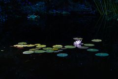 View of a Nymphaea alba (known as the European white water rose) Royalty Free Stock Photo