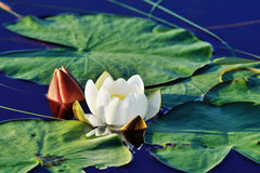 Nymphaea alba (water lily) Royalty Free Stock Image
