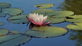 Nymphaea alba - Waterlily - Aquatic vegetation Royalty Free Stock Images