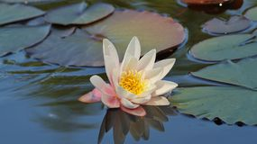 Nymphaea alba - Waterlily - Aquatic vegetation Royalty Free Stock Photography