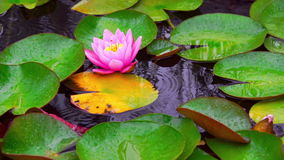 Nymphaea aquatic plant. Nymphaea flower in pond at rainy day. Aquatic Plant on Water. Raindrops falling into lake stock footage