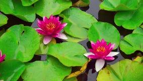 Nymphaea aquatic plant stock video