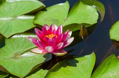 Nymphaea aquatic plant at flowering time. In small artificial pond Stock Photo