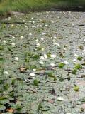 Nymphaea auf dem Teich Lizenzfreie Stockfotos