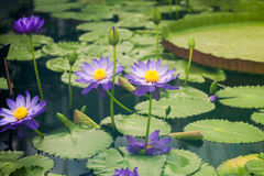 Nymphaea - beautiful water lily from Kew Gardens. Kew's stowaway blues. Beautiful details and colors stock images
