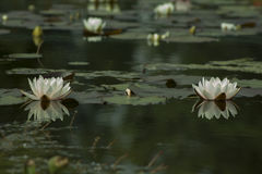 Nymphaea blanc, Hardy Waterlily Photos stock