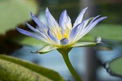 Nymphaea Caerulea - голубой лотос Египта Стоковые Фотографии RF