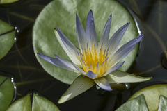 Nymphaea Caerulea - Blauw Lotus van Egypte Stock Fotografie