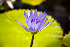 Nymphaea caerulea Royalty Free Stock Photos