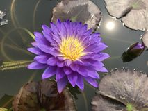Nymphaea caerulea or Blue water lily. Royalty Free Stock Photography