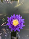 Nymphaea caerulea or Blue water lily. Royalty Free Stock Images