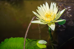 Nymphaea caerulea flower Royalty Free Stock Photography