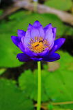 Nymphaea caerulea hybrid Royalty Free Stock Photo