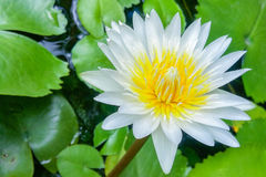 Nymphaea caerulea. Known primarily as blue lotus or blue Egyptian lotus, but also blue water lily or blue Egyptian water lily, and sacred blue lily, is a water Stock Photos