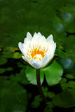 Nymphaea caerulea. Known primarily as blue lotus or blue Egyptian lotus, but also blue water lily or blue Egyptian water lily, and sacred blue lily, is a water Stock Photography