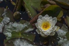 Nymphaea 'Caroliniana Nivea' Waterlily Royalty-vrije Stock Foto