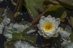 Nymphaea 'Caroliniana Nivea' Waterlily Royalty Free Stock Photo