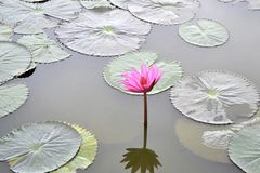 Nymphaea Cyanea. Royalty Free Stock Photo