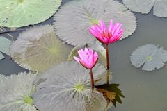Nymphaea Cyanea. Nymphaea Cyanea is a synonym of Nymphaea Nouchali an often know by its synonym nyphaea  stellata,or by common names blue lotus,star lotus,red Royalty Free Stock Images