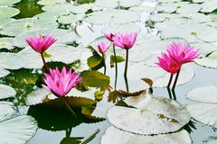 Nymphaea Cyanea. Nymphaea Cyanea is a synonym of Nymphaea Nouchali an often know by its synonym nyphaea stellata,or by common names blue lotus,star lotus,red stock image