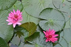 Nymphaea Cyanea. Nymphaea Cyanea is a synonym of Nymphaea Nouchali an often know by its synonym nyphaea  stellata,or by common names blue lotus,star lotus,red Royalty Free Stock Photos