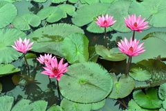 Nymphaea Cyanea. Nymphaea Cyanea is a synonym of Nymphaea Nouchali an often know by its synonym nyphaea stellata,or by common names blue lotus,star lotus,red royalty free stock image