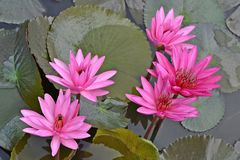 Nymphaea Cyanea. Nymphaea Cyanea is a synonym of Nymphaea Nouchali an often know by its synonym nyphaea  stellata,or by common names blue lotus,star lotus,red Stock Photos