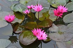 Nymphaea Cyanea. Nymphaea Cyanea is a synonym of Nymphaea Nouchali an often know by its synonym nyphaea  stellata,or by common names blue lotus,star lotus,red Stock Images
