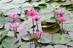 Nymphaea Cyanea. Nymphaea Cyanea is a synonym of Nymphaea Nouchali an often know by its synonym nyphaea  stellata,or by common names blue lotus,star lotus,red Royalty Free Stock Photography