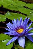 Nymphaea Director George T Moore Royalty Free Stock Images
