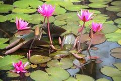 Nymphaea in einem Teich Sri Lanka Lizenzfreies Stockfoto