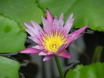 Nymphaea. Flower against the background of water stock image