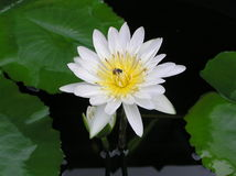 Nymphaea. Flower against the background of water royalty free stock image